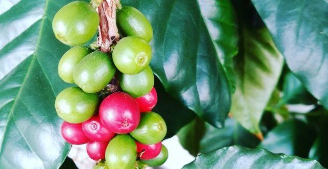 生豆から自分だけの美味しいコーヒーを作ろう!